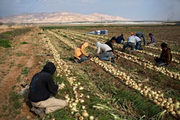 ילדים פלסטינים עובדים בשדה בצל של התנחלות תומר, ינואר 2015. צילום: עודד בלילטי,